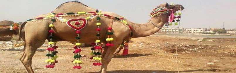 Buy Bakra, Cow, Dumba, Goat, Camel Online for Sacrifice Eid Qurbani